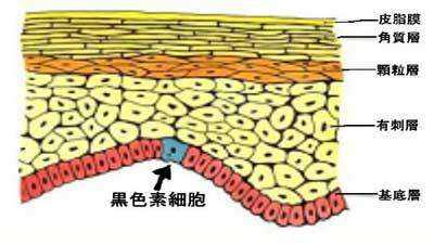 黑色素细胞2.jpg