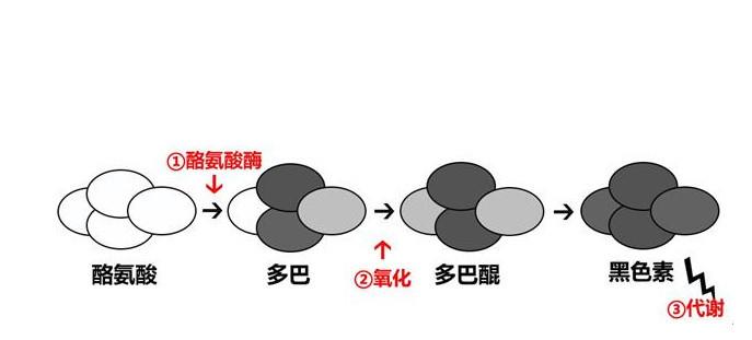 黑色素细胞转黑色素.jpg